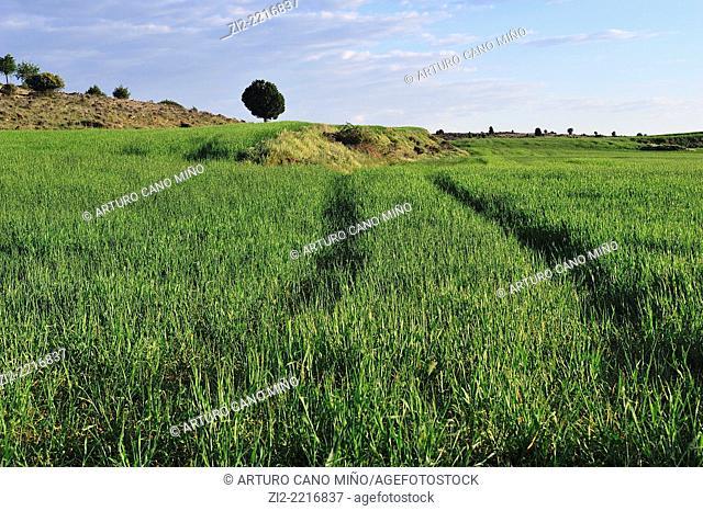 Wheat field in Alto Tajo Natural Park. Huertahernando, Guadalajara, Spain