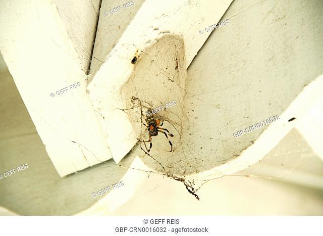 aracnídeo; animal; aranha; brasil