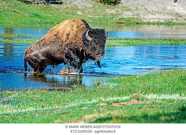 Yellowstone, American Bison bull crossing the Gibbon River near Norris at Yellowstone National Park in northern Wyoming