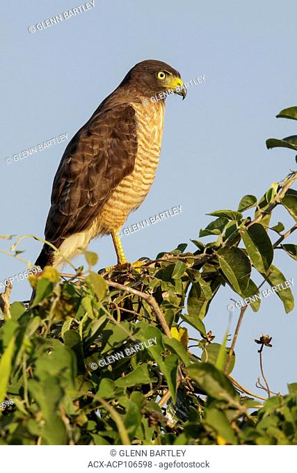 Roadside Hawk (Rupornis magnirostris) perched on a branch in the Pantanal region of Brazil