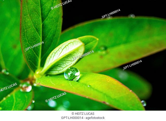 REFLECTIONS IN A DROP OF WATER ON THE LEAVES OF A ST JOHN'S WORT, OINVILLE-SOUS-AUNEAU, EURE-ET-LOIR (28), CENTRE, FRANCE