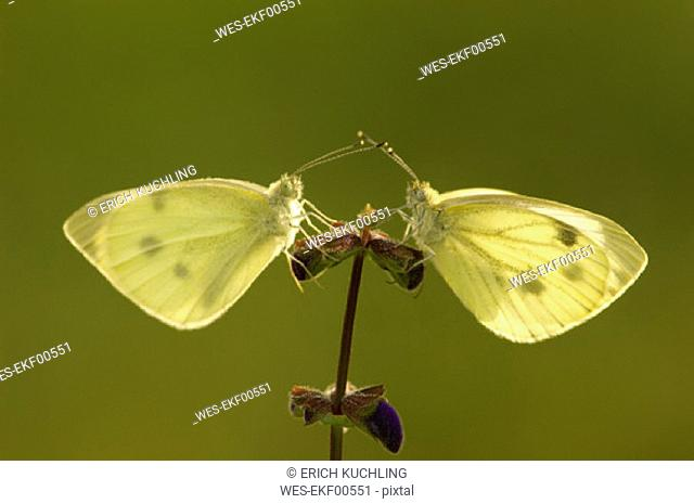 Two cabbage white butterflies sitting on a flower