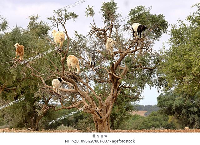 Goat Capra aegagrus hircus Climbing Argan tree Photographed near Essaouira, Morocco