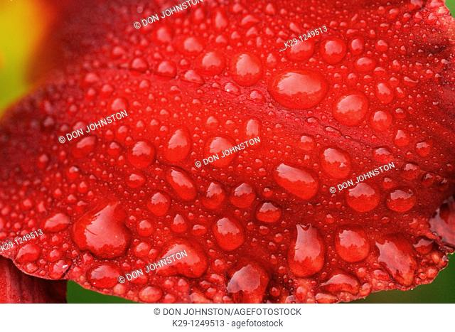 Raindrops on day lily flower petal