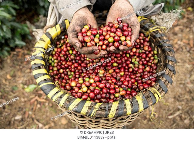 Hispanic farmer's hands holding coffee fruits