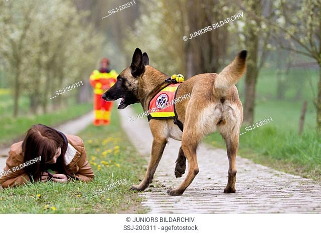 Belgian Shepherd, Malinois. Adult dog working as search and rescue dog barking next to an injured person. Germany