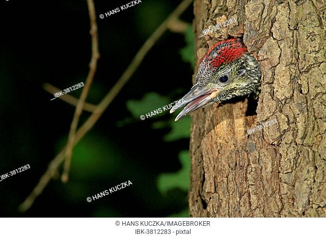 Green Woodpecker (Picus viridis), young looking out of the tree hole, Germany