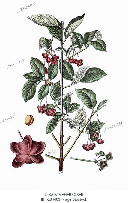 Large-leaved spindle (Euonymus latifolia), a medicinal plant, historic chromolithography, about 1796