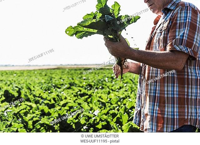 Senior farmer with turnip standing in front of a field, partial view