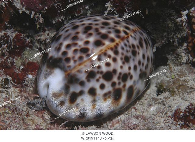 Tiger Cowrie Cyprae tigris, shell with mantle retracted, Rurutu, French Polynesia Underwater