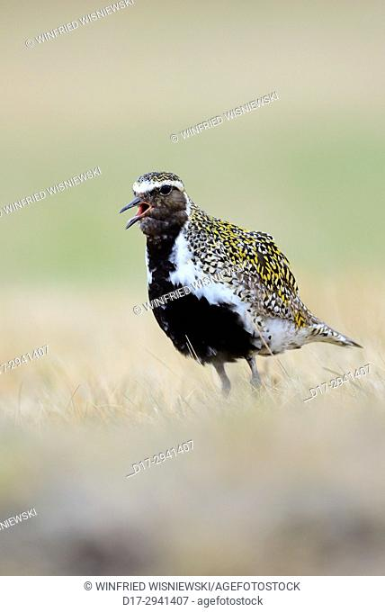 Golden plover (Pluvialis apricaria) in tundra vegetation. Iceland