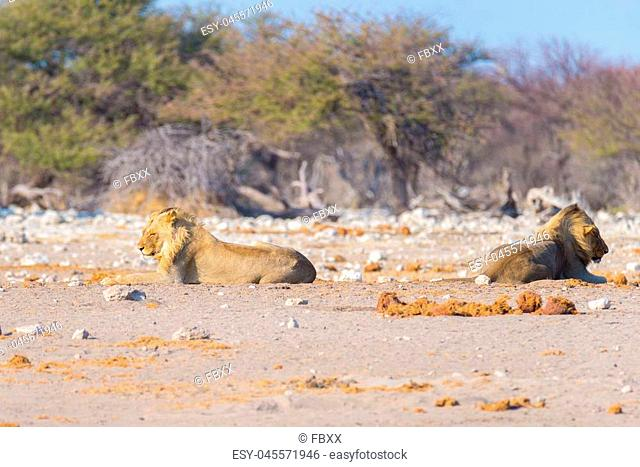 Couple of Lions lying down on the ground in the bush. Wildlife safari in the Etosha National Park, main tourist attraction in Namibia, Africa