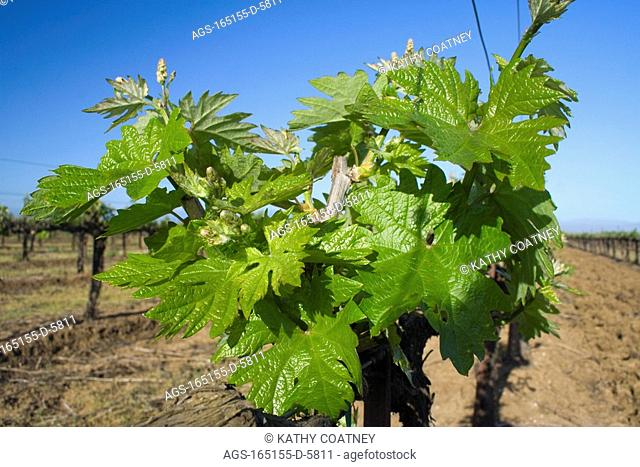 Agriculture - Spring foliage of wine grapevines showing early formation of grape clusters / Northern CA - Glenn County, nr. Orland