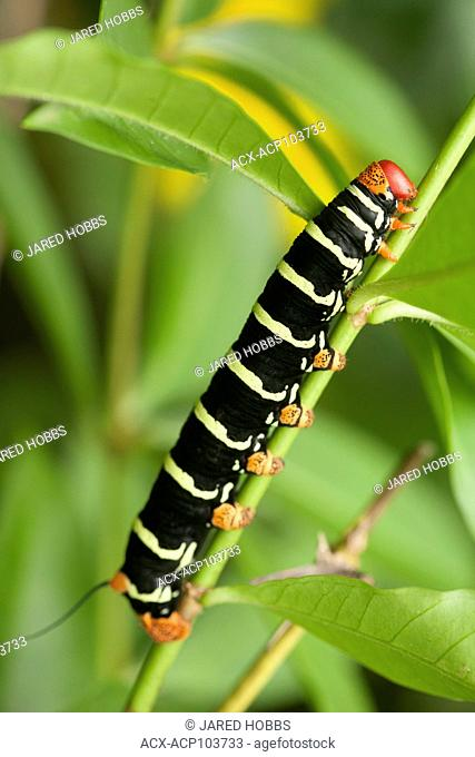 Caterpillar, Frangipani, on a plant in St. Lucia, Central America, Community Culture
