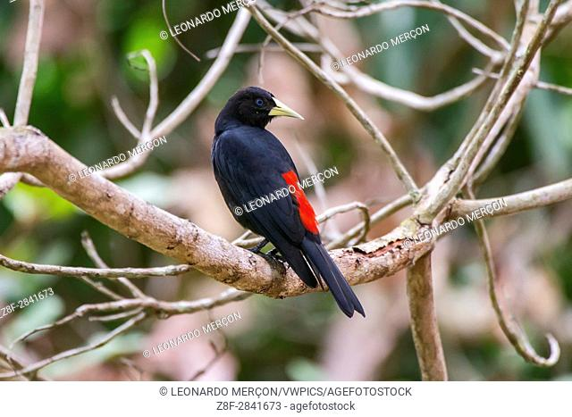 Red-rumped Cacique (Cacicus haemorrhous) photographed in Sooretama, Espírito Santo - Brazil. Atlantic forest Biome