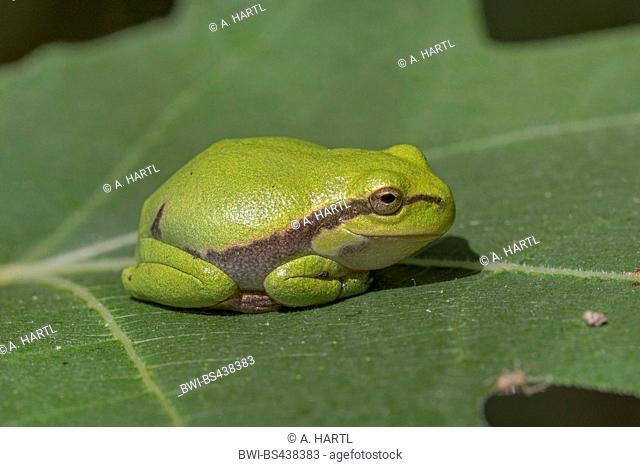European treefrog, common treefrog, Central European treefrog (Hyla arborea), juvenile on a fig tree leaf