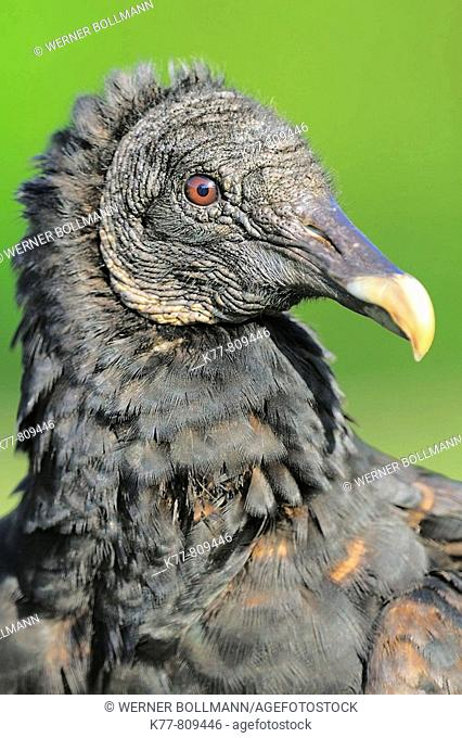 Black Vulture (Coragyps atratus), Juvenile. Everglades N.P., Florida, USA
