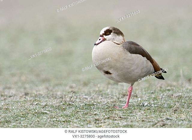 Egyptian Goose (Alopochen aegyptiacus) in winter, resting on frost covered farmland, standing on one leg, wildlife, Europe