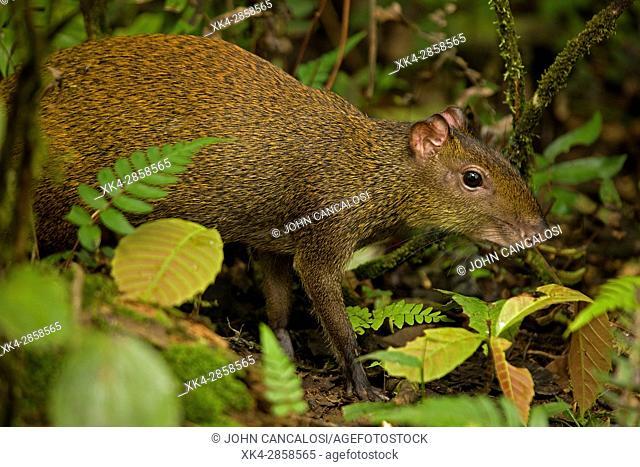 Central American agouti (Dasyprocta punctata) , Costa Rica, Guanacaste National Park