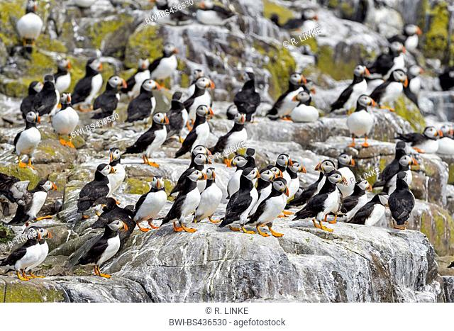 Atlantic puffin, Common puffin (Fratercula arctica), colony, United Kingdom, England, Northumberland, Farne Islands