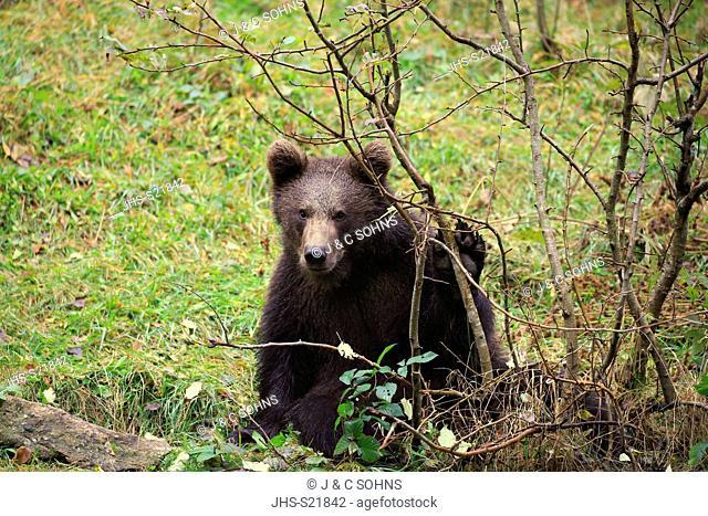 Eurasian brown bear, (Ursus arctos arctos), young in autumn, Bavarian Forest National Park, Germany, Europe