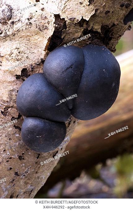 Daldinia concentrica fungi, 'King Alfreds Cakes', Wales