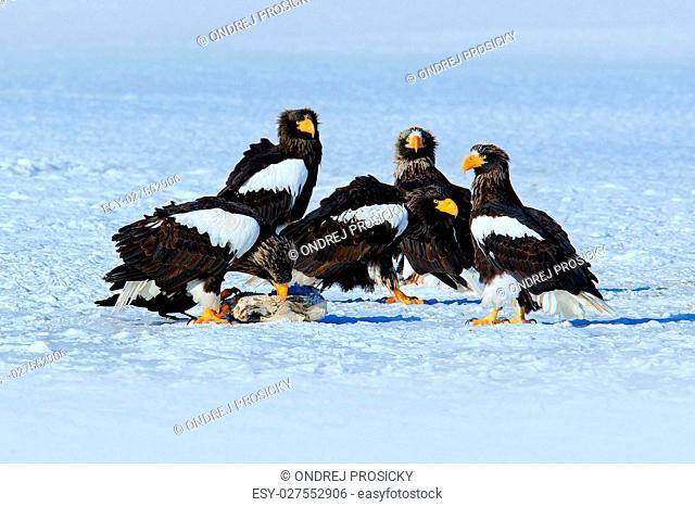 Steller's sea eagle, Haliaeetus pelagicus