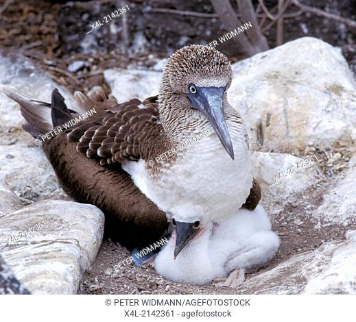 galapagos blue footet boobie with pup in a nest
