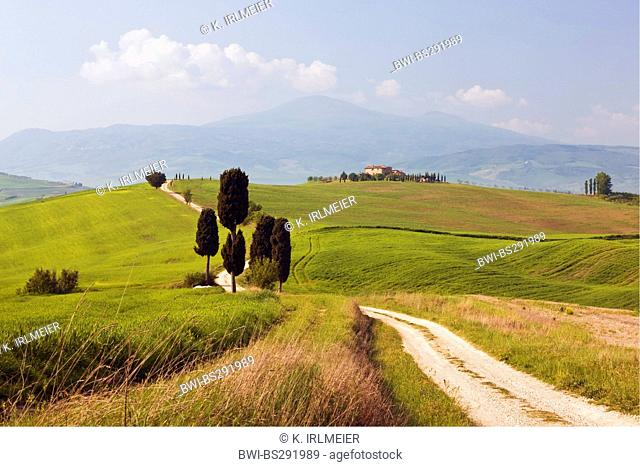 Italian cypress (Cupressus sempervirens), cypresses in hilly landscape, Italy, Tuscany, Pienza
