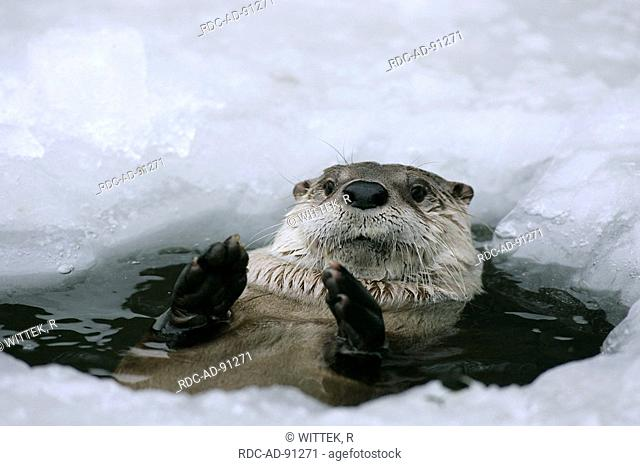 Canadian Otter looking out of ice hole Lutra canadensis