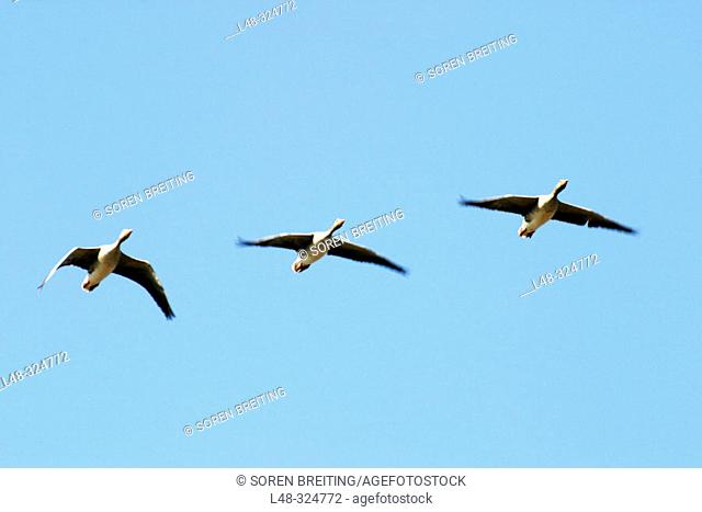 Three greylag goose (Anser anser) flying against the blue sky in formation