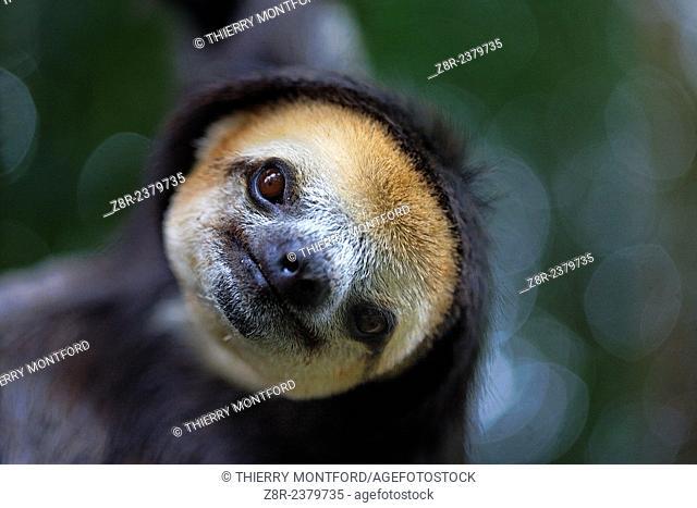 Bradypus tridactylus. Portrait of a sloth. French Guiana