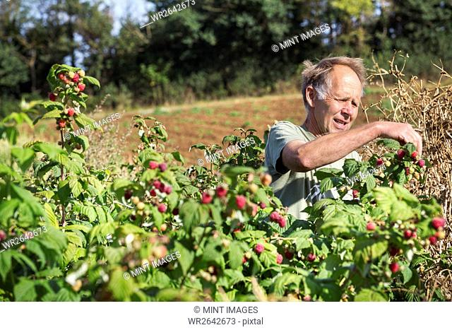 A man picking soft fruit, autumn raspberries from the canes in full sunlight