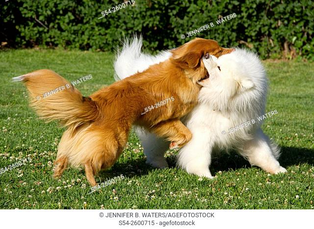 A Samoyed and a Nova Scotia Duck Tolling Retriever playing rough outdoors