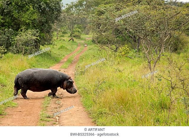 hippopotamus, hippo, Common hippopotamus (Hippopotamus amphibius), walking at the rainy season on a path to the water, Rwanda, Eastern Province