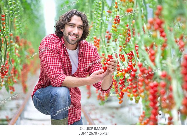 Portrait smiling worker inspecting vine tomato plants in greenhouse