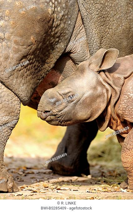 greater Indian rhinoceros, great Indian One-horned rhinoceros (Rhinoceros unicornis), young animal and mother