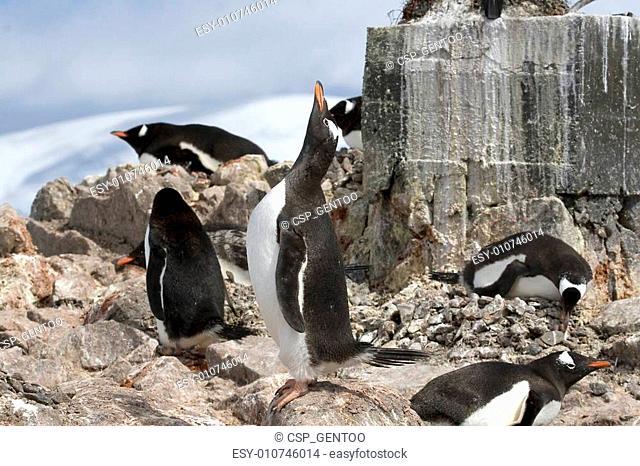 Gentoo penguin (Pygoscelis papua) on Goudier Island, Antarctica
