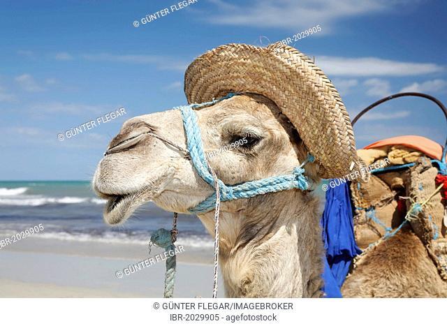 Dromedary, Arabian camel (Camelus dromedarius) wearing a hat on Sidi Mahres beach, Djerba, Tunisia, Maghreb region, North Africa, Africa