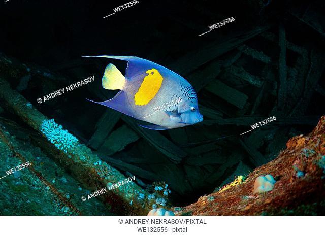 "halfmoon angelfish, yellowband angelfish, yellowbar angelfish, yellow-blotch angelfish, or yellow-marked angelfish (Pomacanthus maculosus) on the """"SS..."