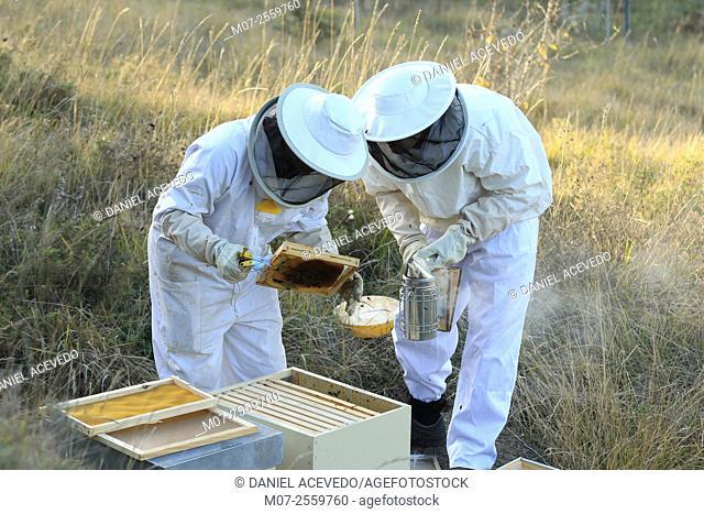 Spanish Beekeepers working at beehives site. La Rioja, North of Spain, Europe