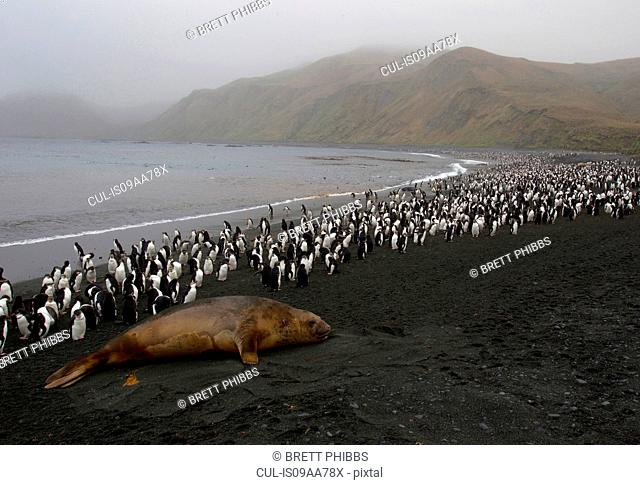 King and Royal Penguins and an Elephant Seal, Macquarie Island, Southern Ocean