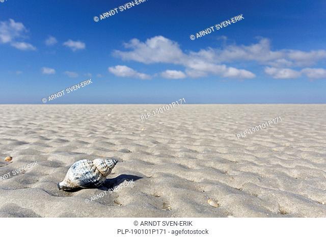 Common whelk (Buccinum undatum) washed on beach, Wadden Sea National Park, Schleswig-Holstein, Germany