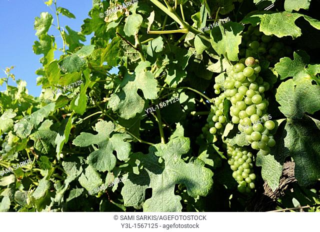 Green grapes on vineyards in summer, Provence, France