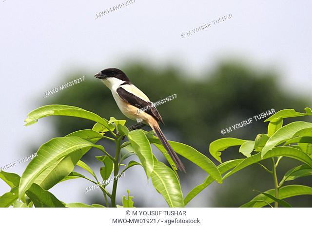 A Long-tailed Shrike Lanius schach, locally known as 'koshai' in Jessore, Bangladesh May 22, 2008