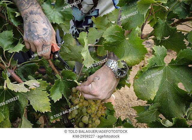 Premsal grape vintage, finca (estate) de Camí de felanitx, Celler Mesquida-Mora, Porreres, Mallorca, Balearic islands, Spain