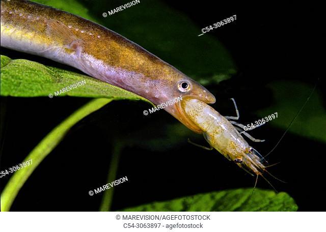 Freshwater Rivers. Elver. Eel. European Eel v(Anguilla anguilla). Juvenile eel. devouring Freshwater shrimp (Atyaephyra desmarestii). Tea river