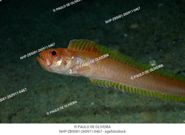 Red bandfish, Cepola macrophthalma, Composite image . Portugal