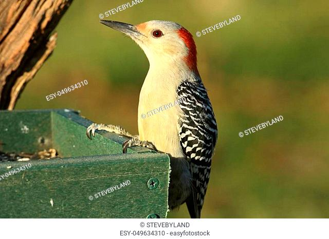 Female Red-bellied Woodpecker (Melanerpes carolinus) on a feeder with a green background