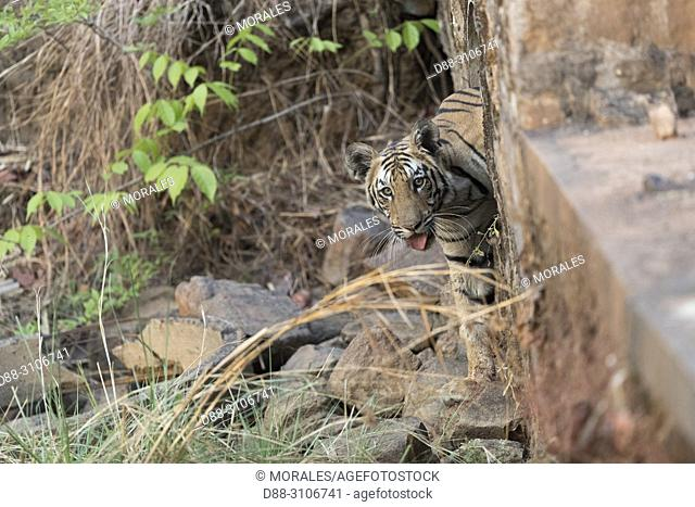 Asia, India, Maharashtra, Tadoba Andhari Tiger Reserve, Tadoba national park, a young tiger comes out of a water drainage pipe that passes under the track at...